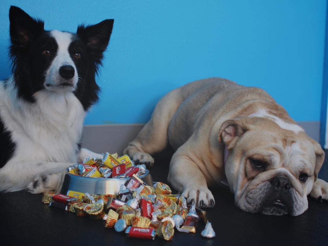 chocolate halloween holiday dogs.jpg